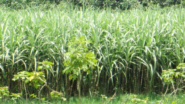 শার্শা-বেনাপোলে আখ চাষে সাফল্য পেয়েছে ২'শ কৃষক